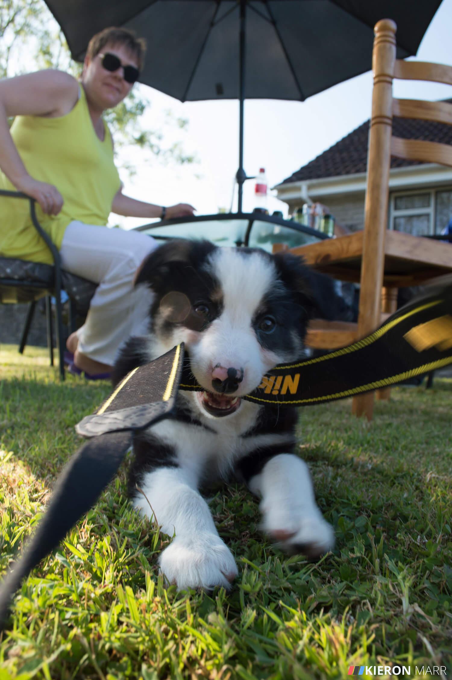 Del boy the Border Collie Puppy