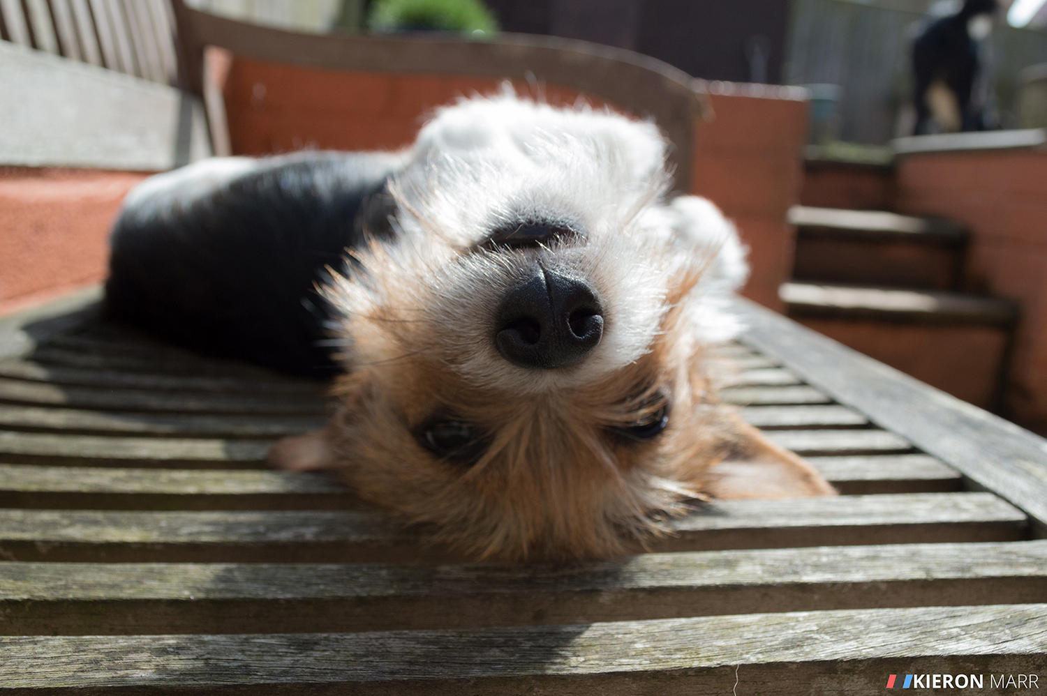 Maisie the Jack Russell upside down