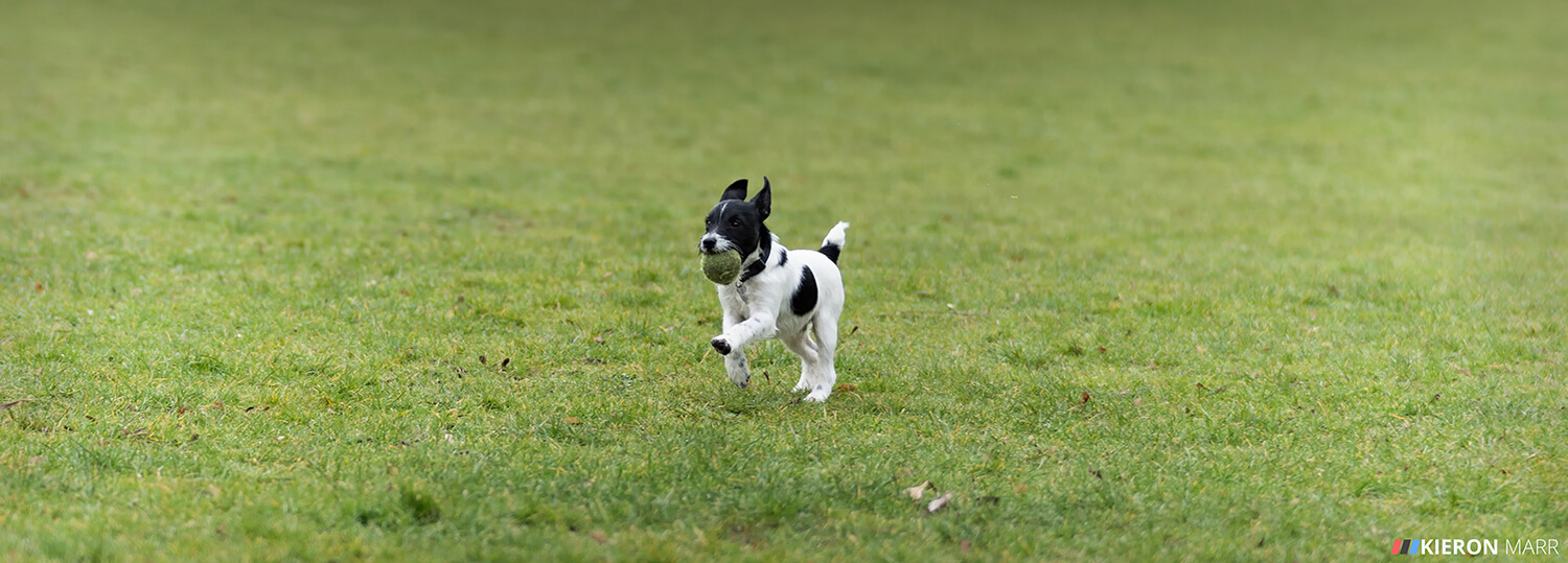 Stan the Jack Russell with his ball