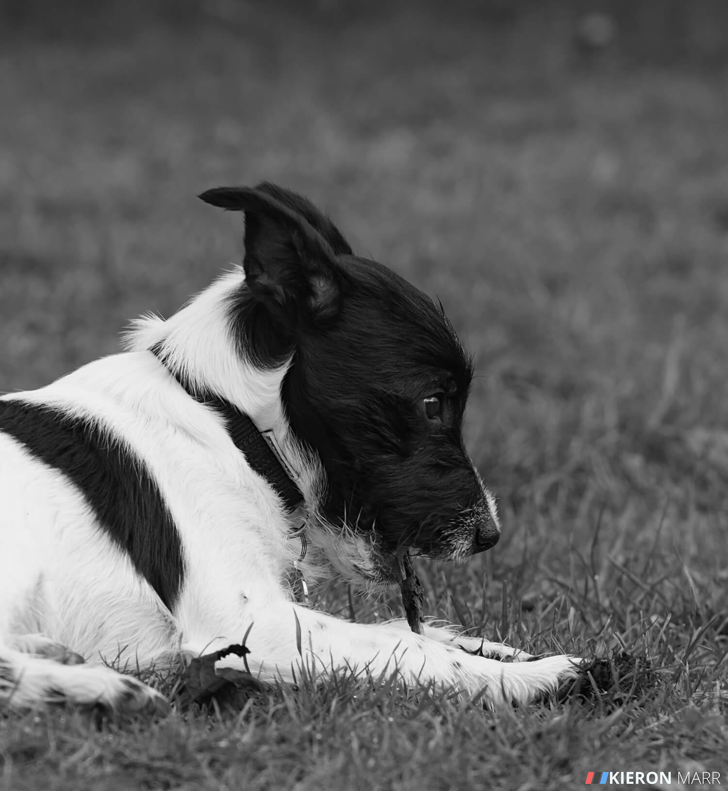 Stan the Jack Russell chewing a stick