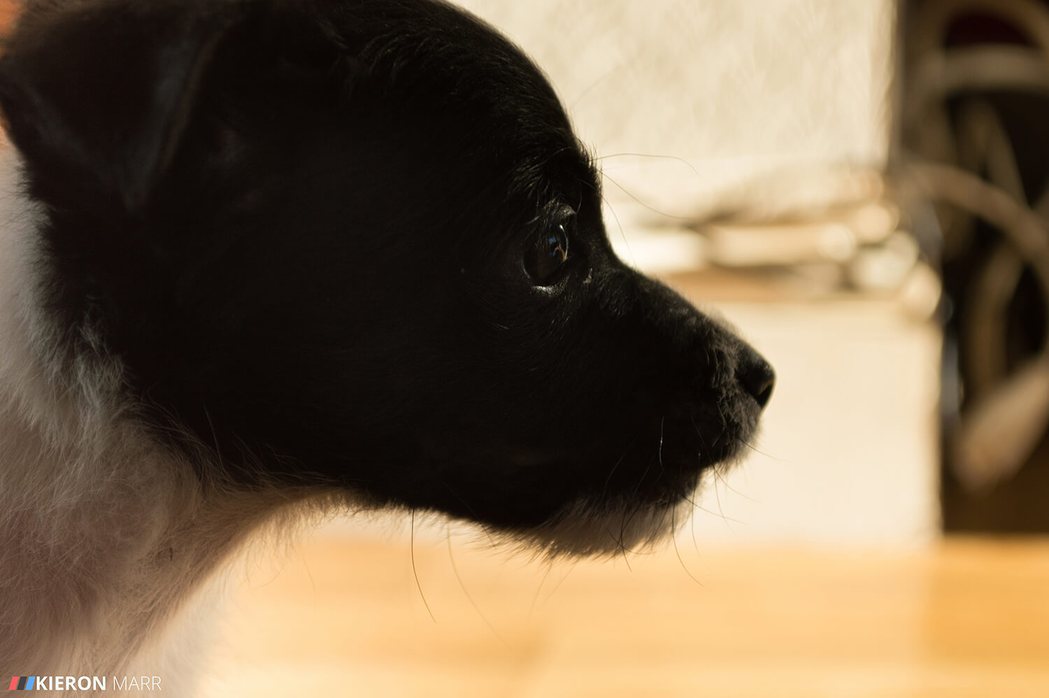 Stan the Jack Russell as a puppy