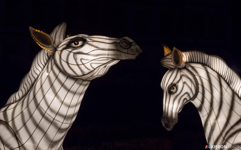 Longleat Festival of Light 2014 - Zebras